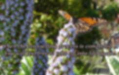 monarch butterfly on top of blue budlea flower