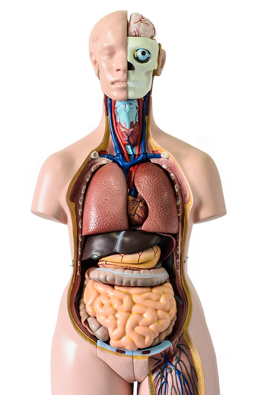 Human body anatomy model.jpg