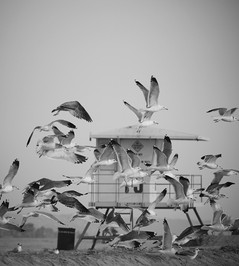 Seagulls Los Angeles