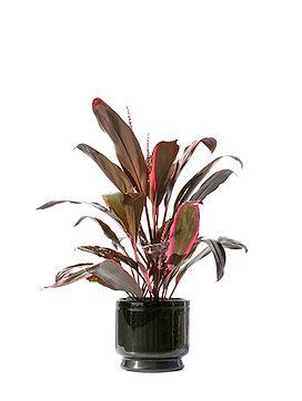 24-fruticosa rubra.jpg