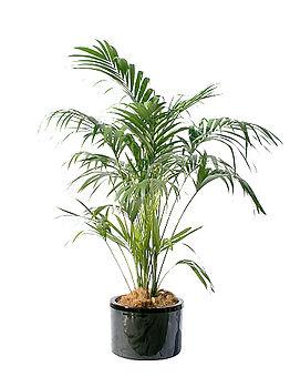 2-kentia palm.jpg