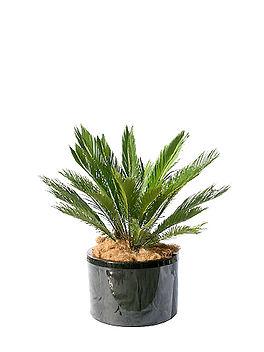 15-saggo palm.jpg