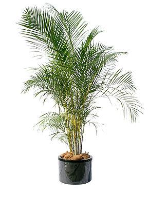 1-golden cane palm.jpg