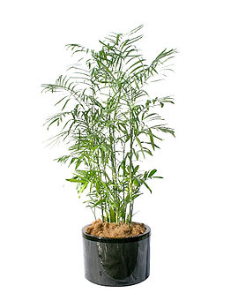 12-bamboo palm.jpg