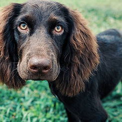 dark brown dog in off-leash training