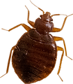 buy bedbugs live bed bug photo