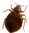 Buy bed bugs live bed bug photo