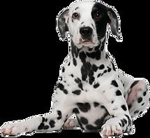 dalmation dog training