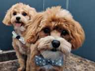 small dogs with bow ties