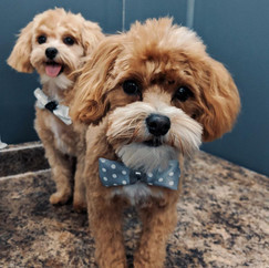 2 small dogs just groomed