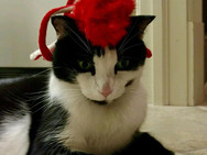 Red Dog Sitting black and white cat with red bow on head