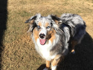 Red Dog Sitting tri colored collie
