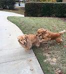 pet sitting dogs playing