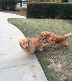 pet sitting dogs playing