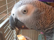 Red Dog Sitting parrot eating a treat