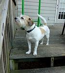 dog walker hoover alabama white terrier