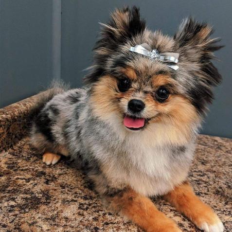 Pomeranian dog grooming