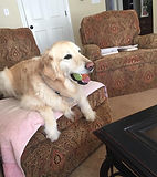 Pet Sitting birmingham AL golden retriever