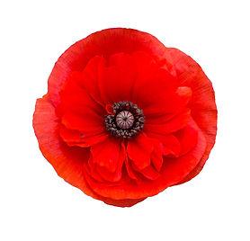 red poppy flower isolated on white backg