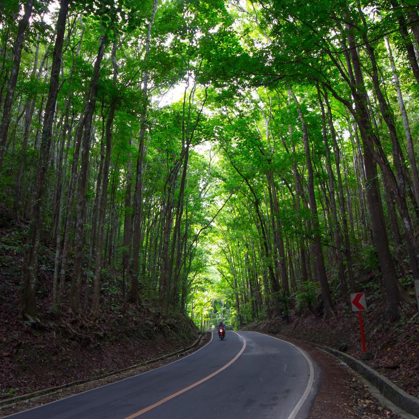 Man-Made Mahogany Forest