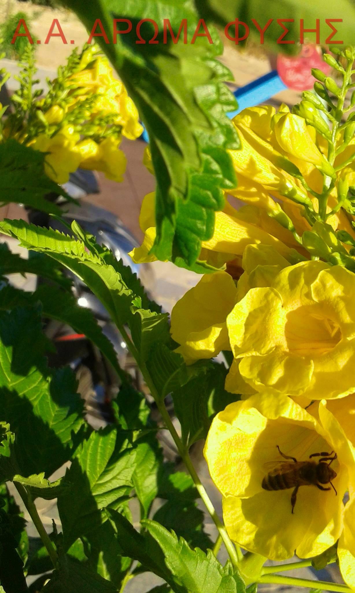 κίτρινα κουδούνια / Tecoma stans