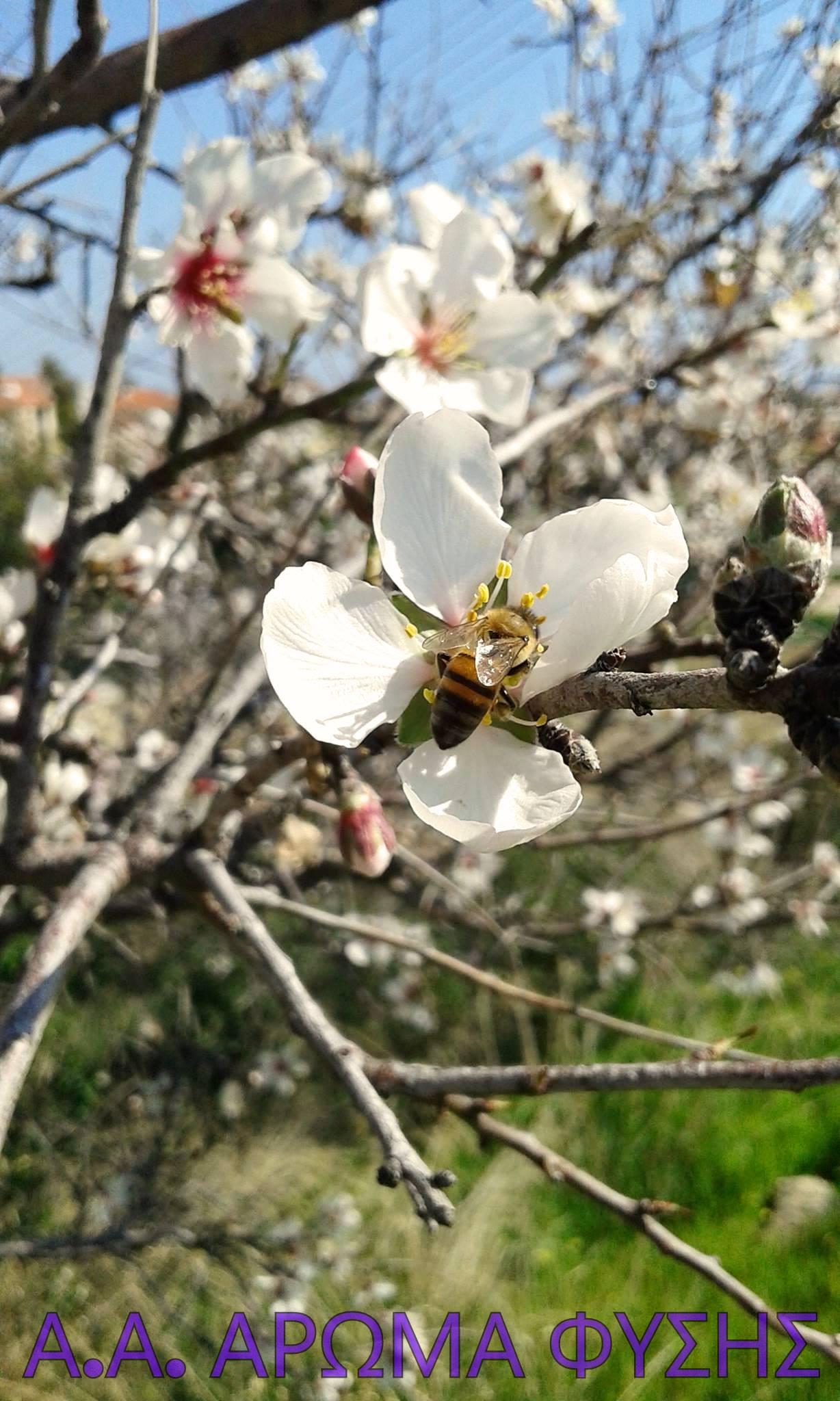 Αμυγδαλιά / Prunus amygdalus