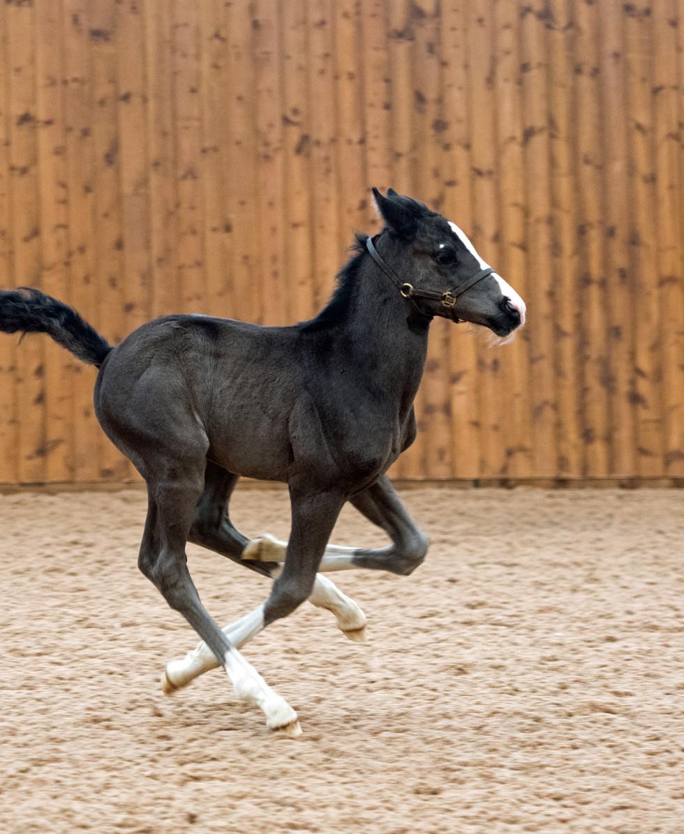 MM Quaterflo Colt Foal