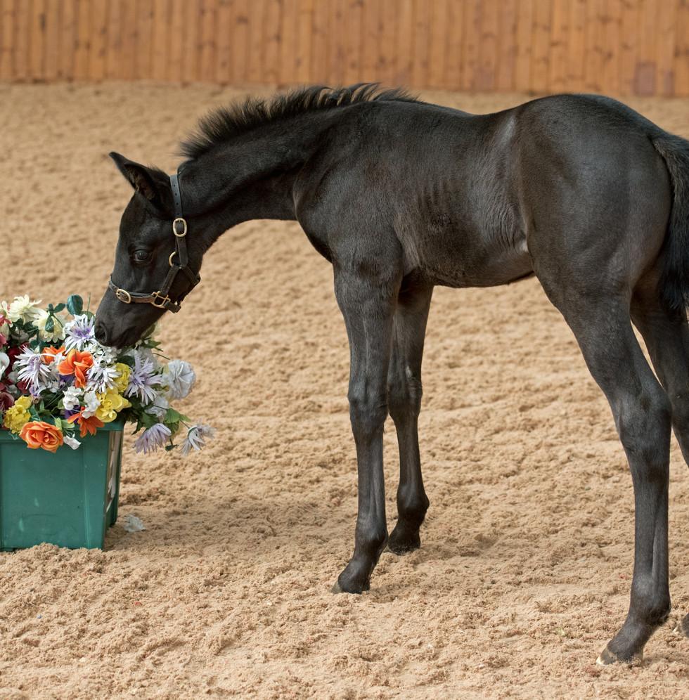 MM Ferros Finest Colt Foal