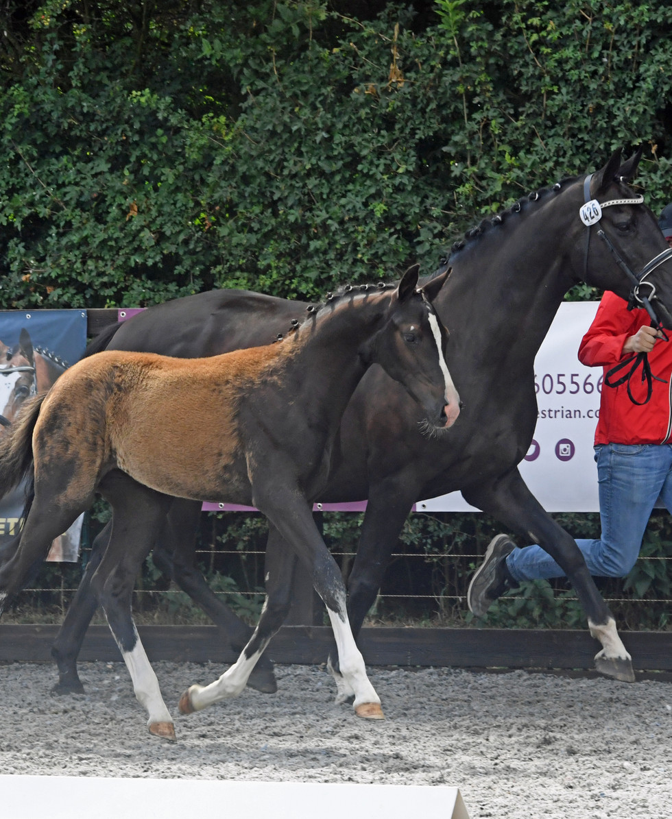 Elite Foals Maxted Massey Stud MM Quater Flo Colt Foal.JPG