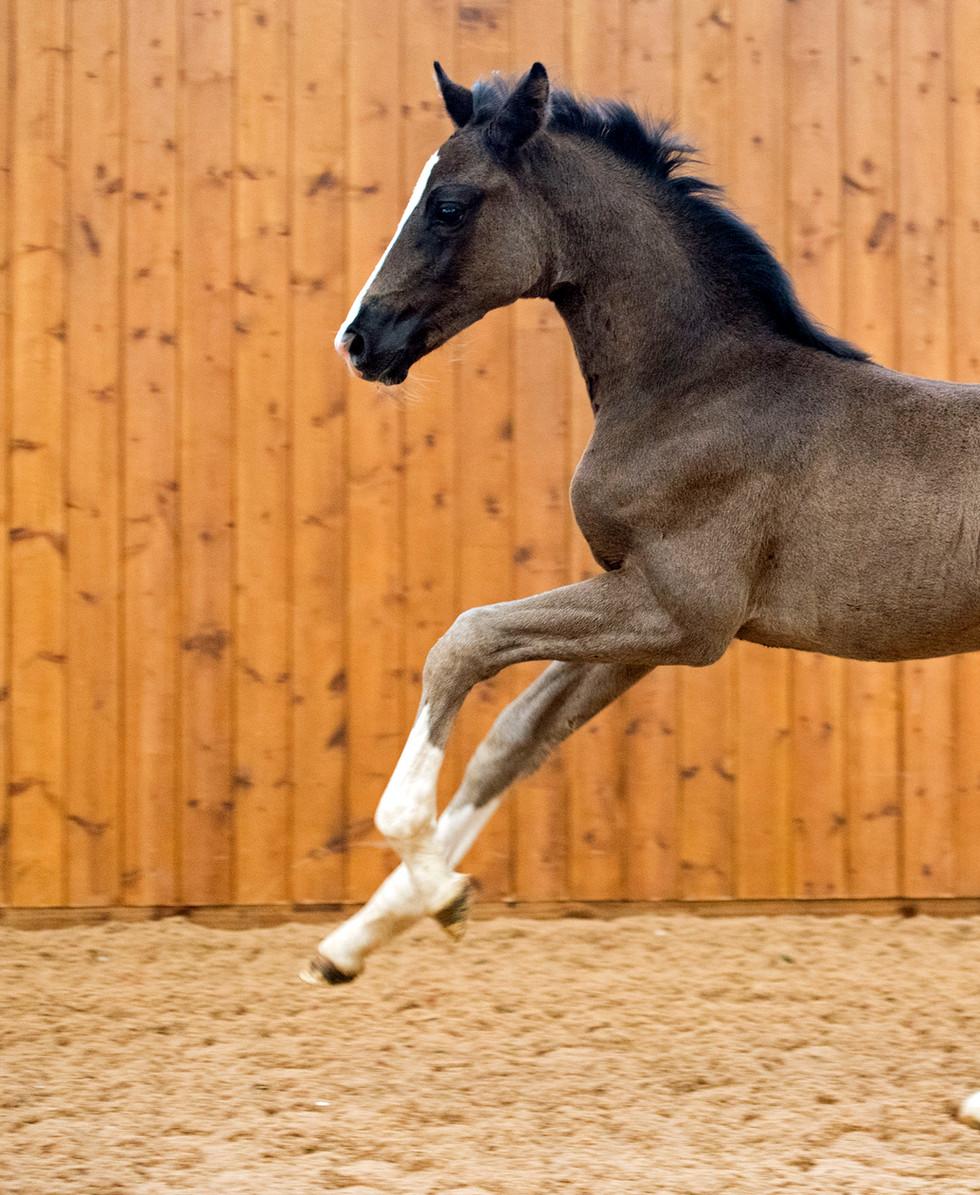 MM Quaterflo Colt Foal 1