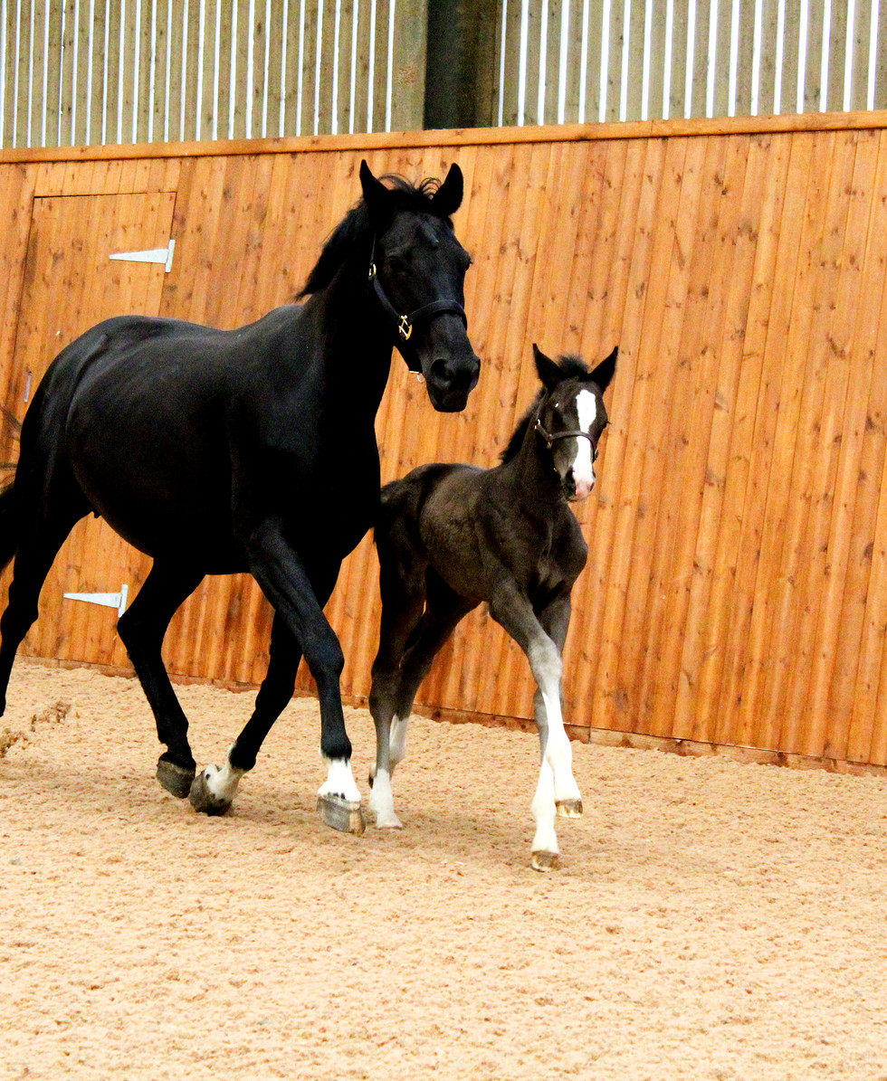 Dressage Horse Sales Cambridge.jpg