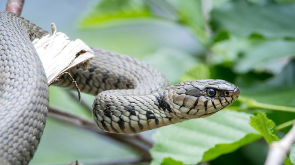 mfa snake 3