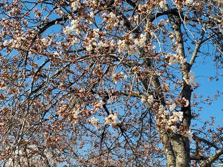 桜 5%開花 、交通安全週間スタートです