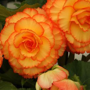 Tuberous-Begonia.jpg