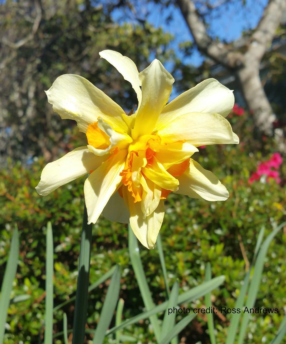 narcisus, daffodil copy.jpg
