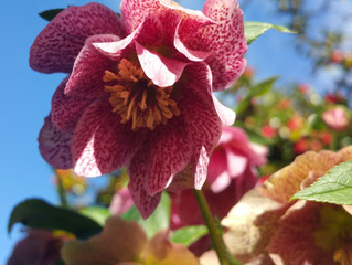 The Hellebores are Blooming in our Winter Garden!