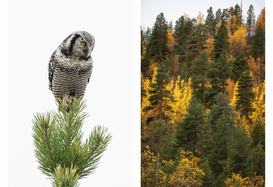 Hawk owl & Autumn color