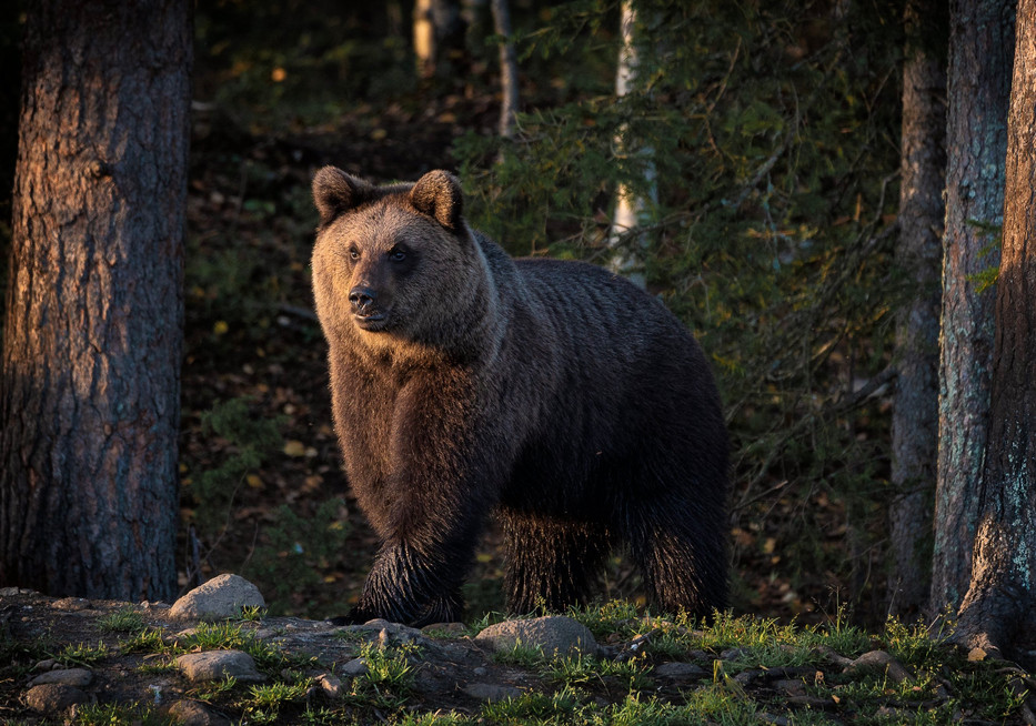 OTSO - The Brown bear
