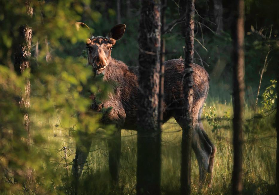 HIRVI - The moose