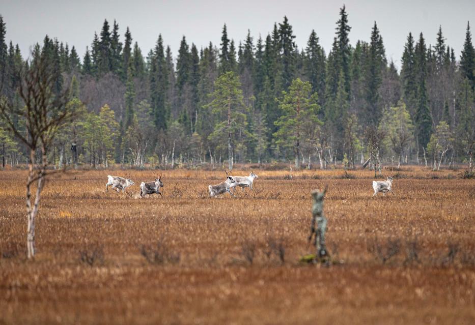 Reindeers running in an aapa mire