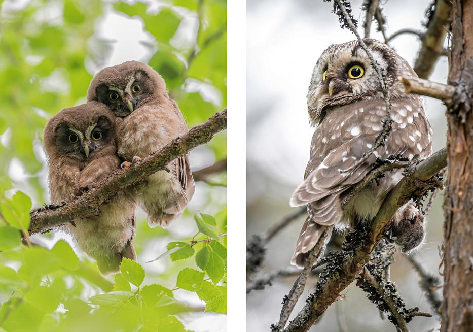 HELMIPÖLLÖ - Boreal owl
