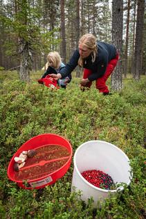 Lingonberry season