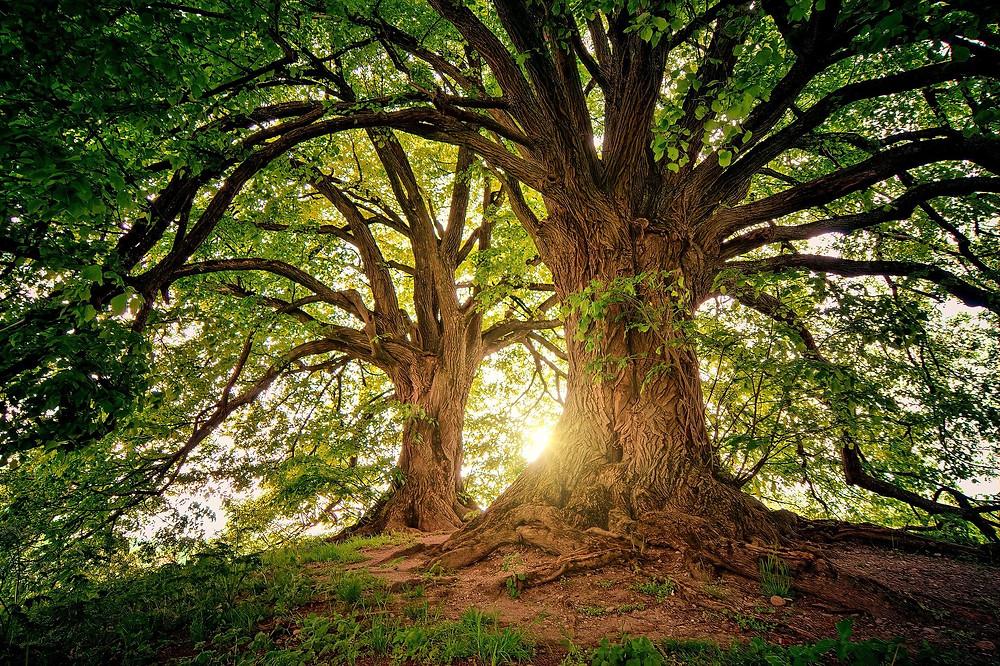 Duas árvores majestosas
