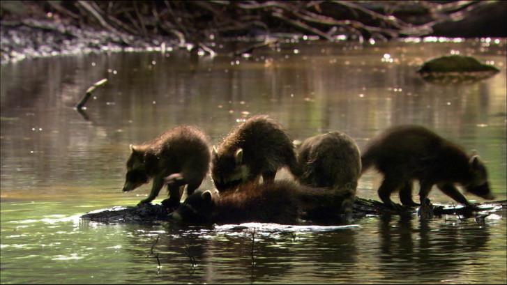 Waschbären (8).jpg