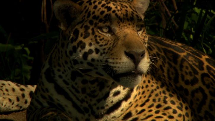 Jaguar (10).jpg