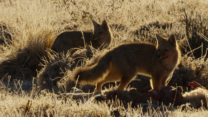 TWA_Ep3_29_Patagonian_Fox.jpg