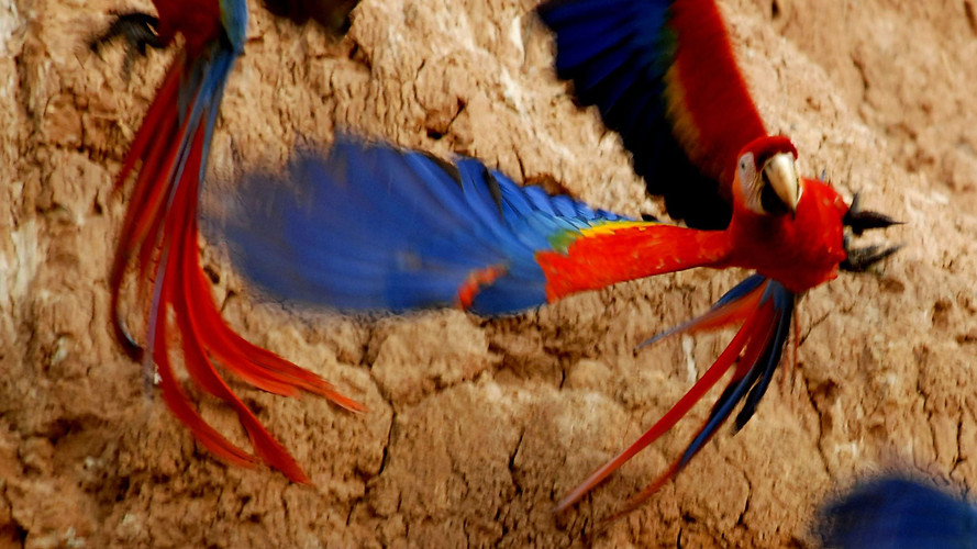 Amazon Alive_Part 1_Scarlet Macaws.jpg