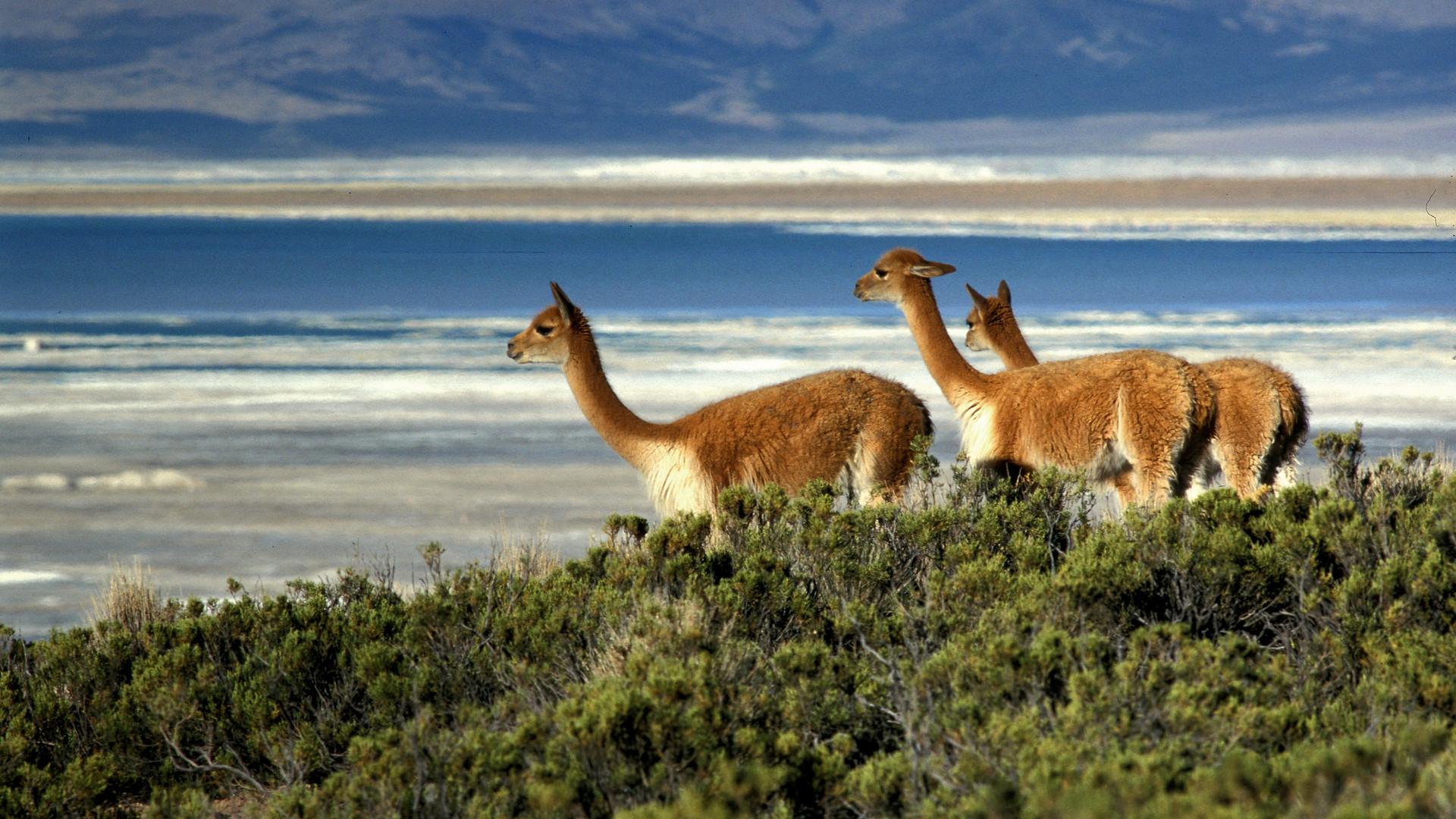 Vicunas, Salar de Surire, Chile.jpg