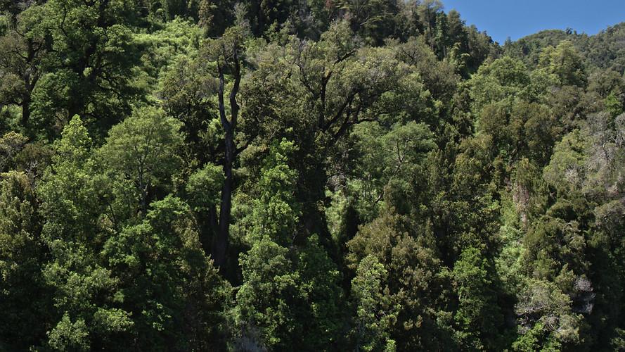 TWA_Ep3_15_Valdivian_Rainforest.jpg