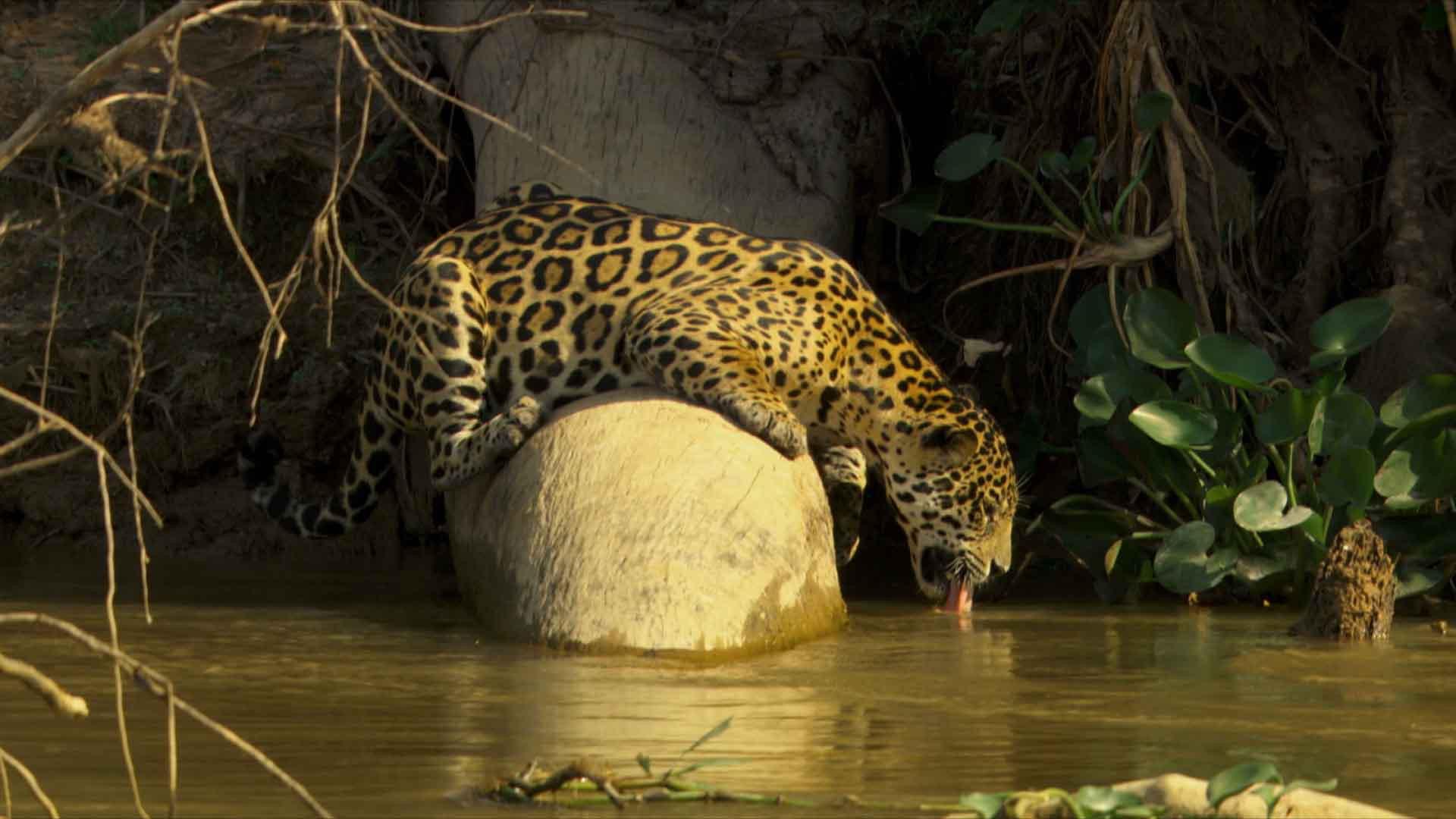 Jaguar (12).jpg